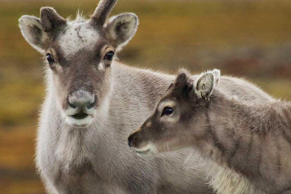 Mother and fawn, Lonyearbyen, Svalbard