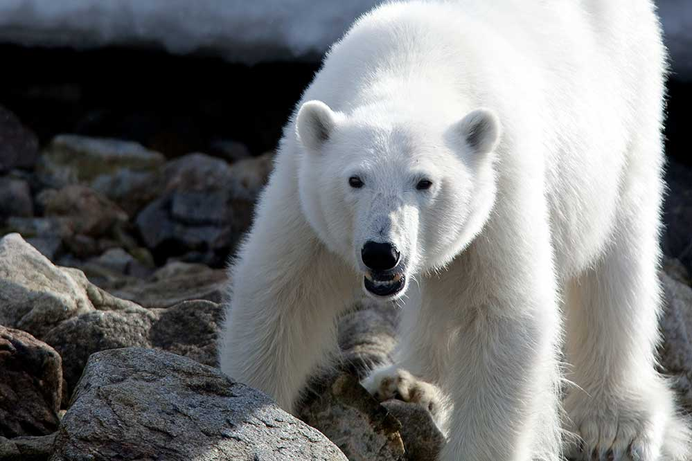 Undiscovered World Polar Bear Spitsbergen