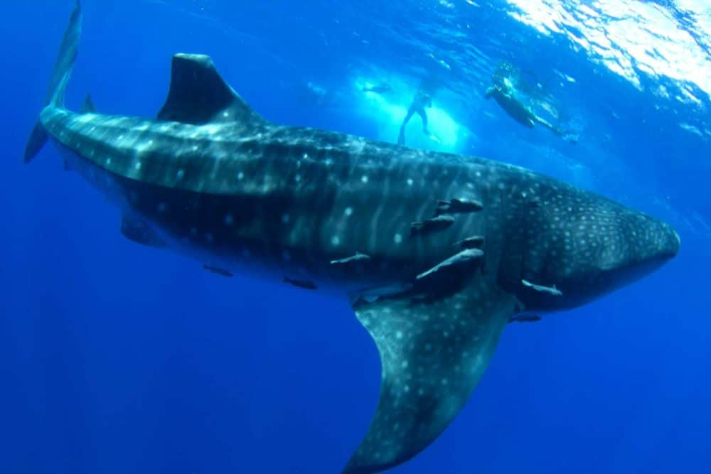 Undiscovered world whale shark