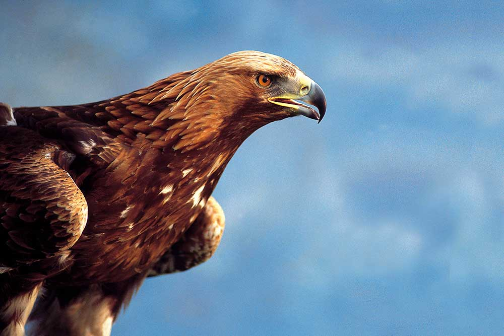 Golden eagle Hebrides