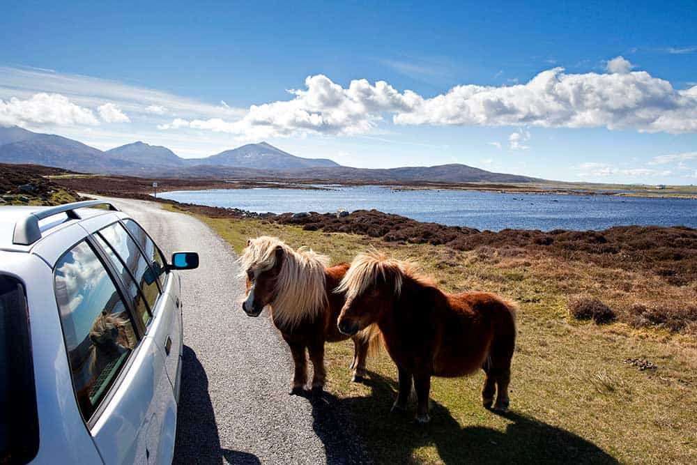warm and welcoming hebridean ponies