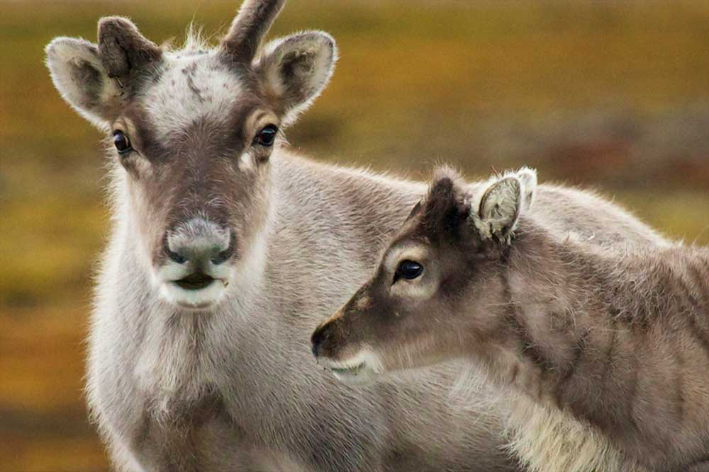 Deer travel Svalbard Spitsbergen