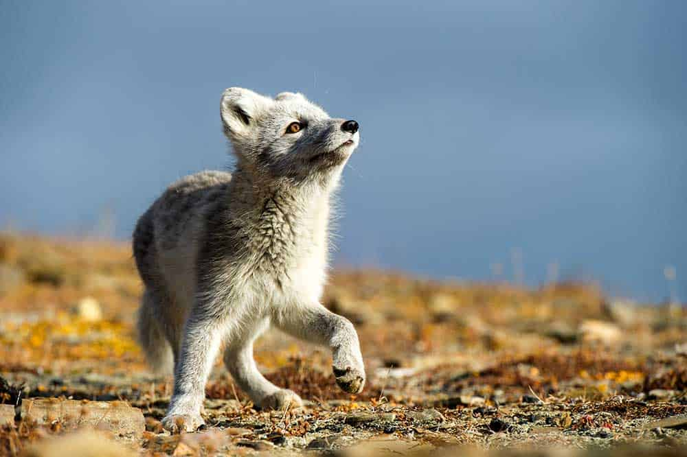 Arctic fox travel svalbard spitsbergen