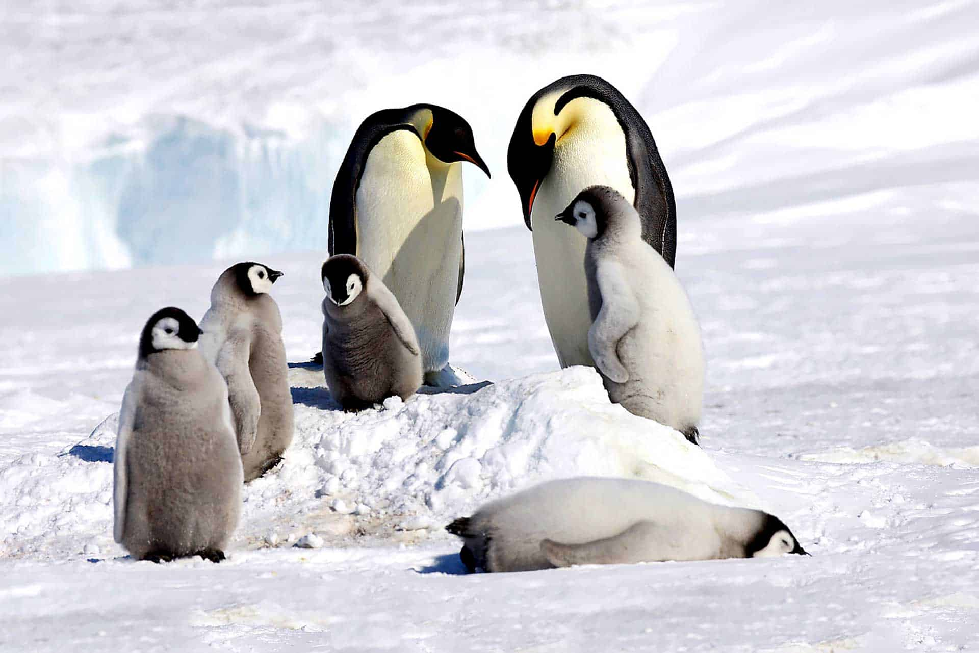 Emperor Penguins and chicks Ross Sea Expedition