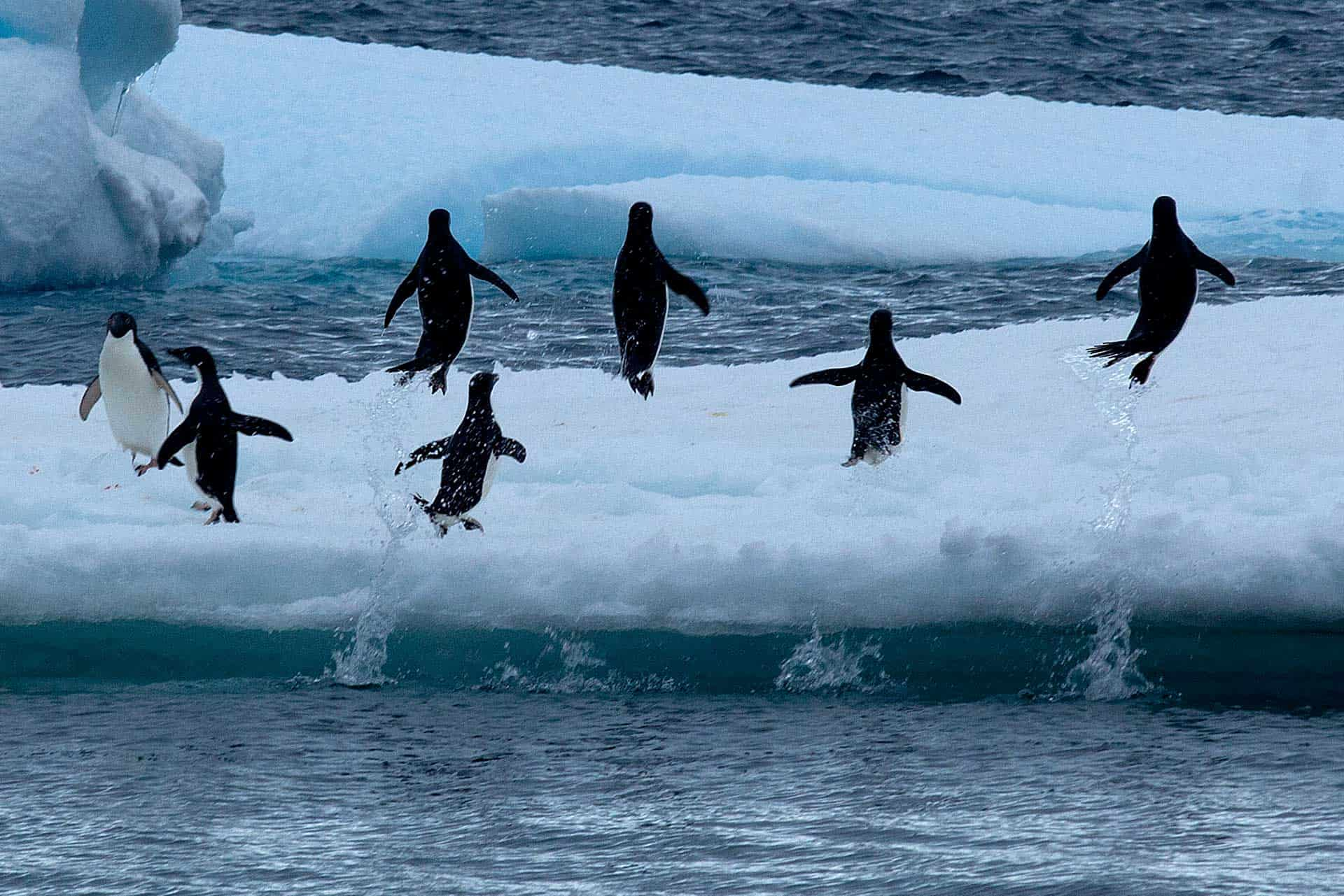 Adelie Penguins head to shore after fishing Weddell Sea
