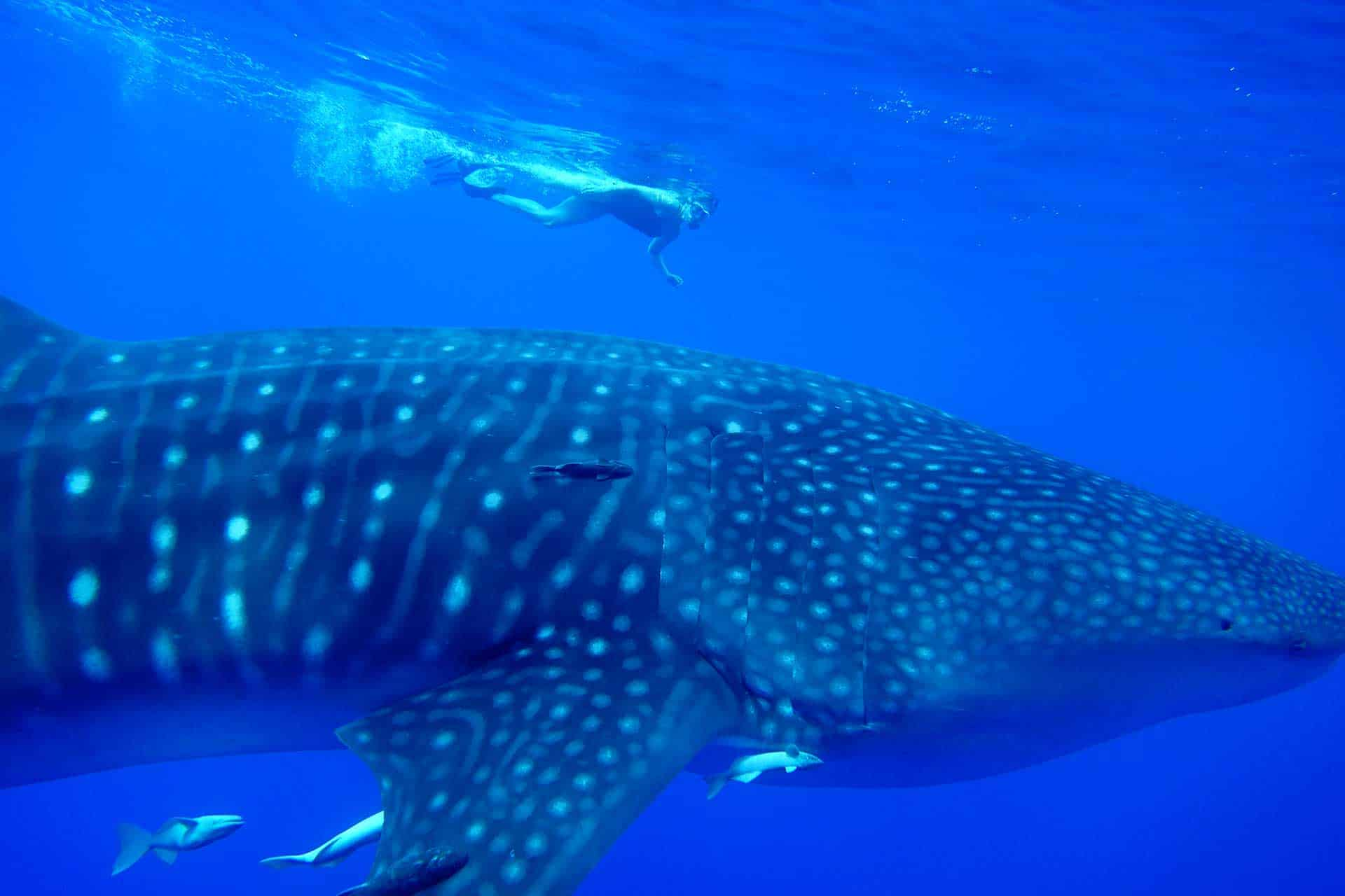 Swim with whale sharks st helena