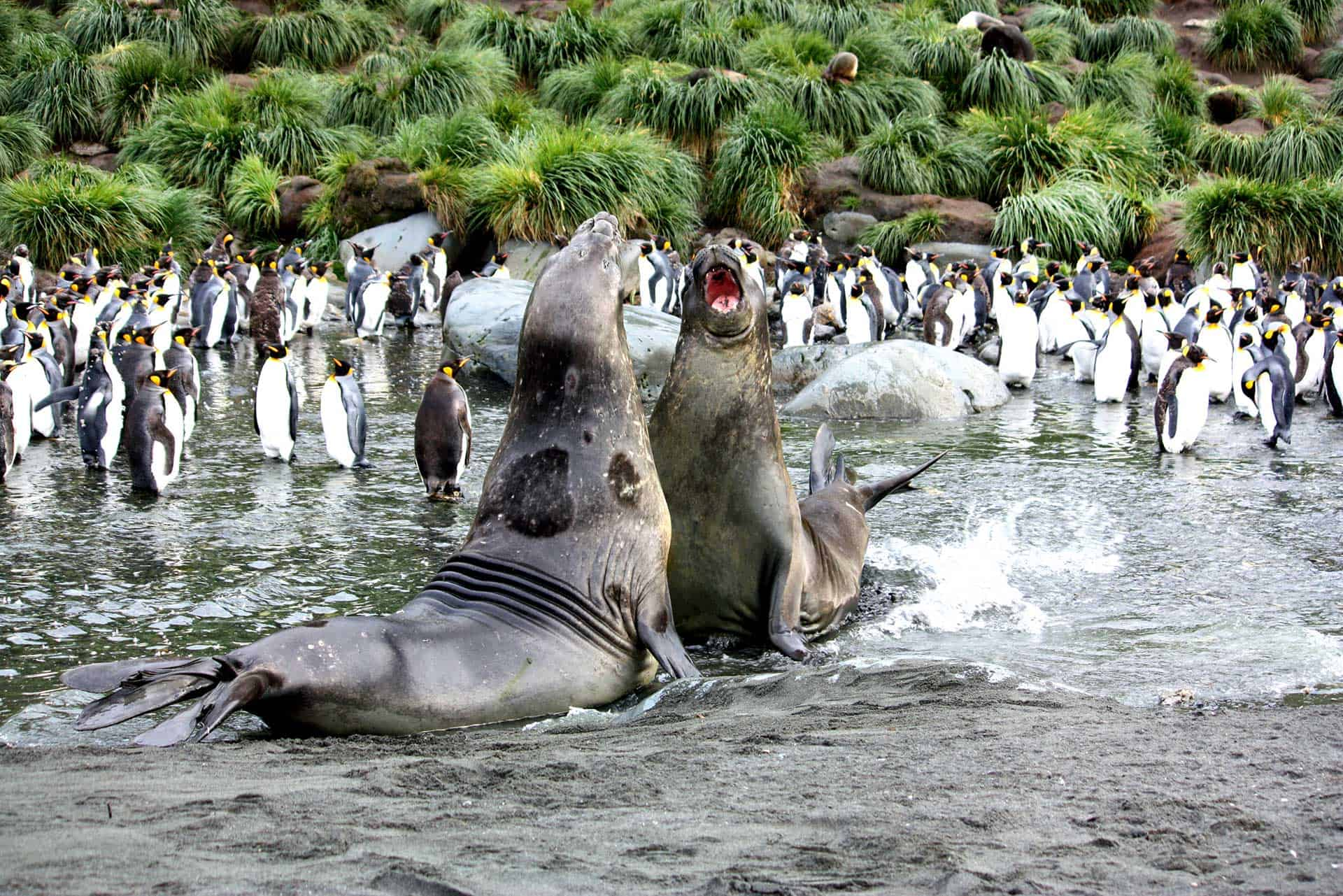 Elephant Seals in heated discussion