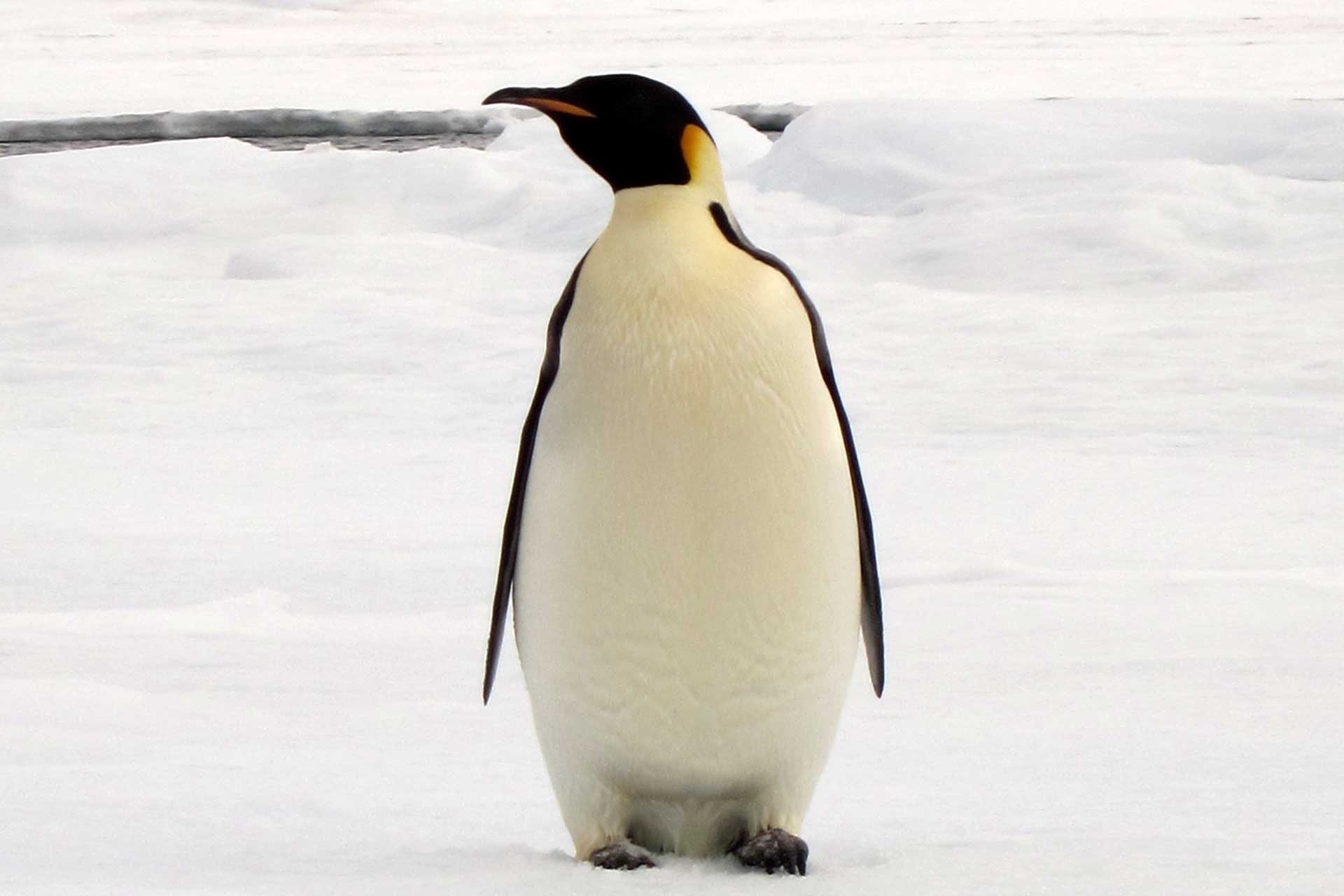 Emperor Penguin, Weddell Sea