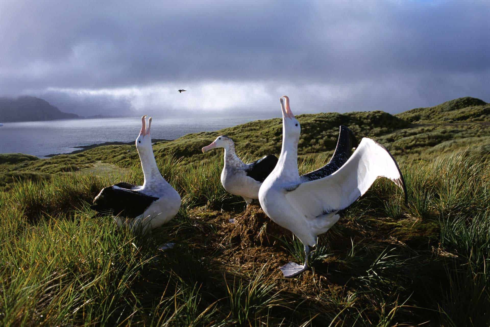 Wandering Albatross South Georgia