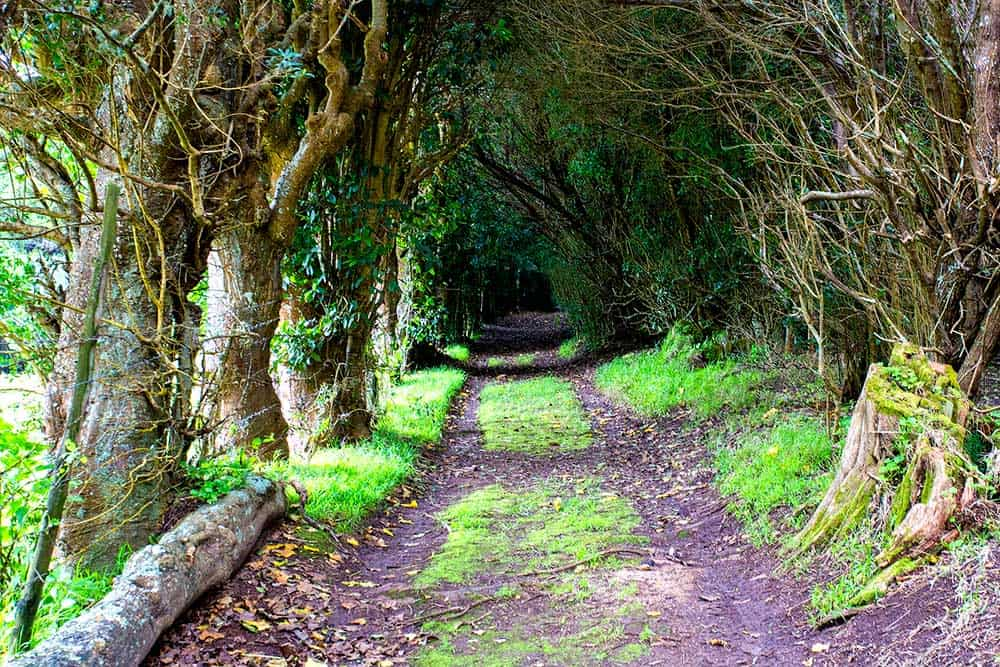 Tree lined trail, St Helena
