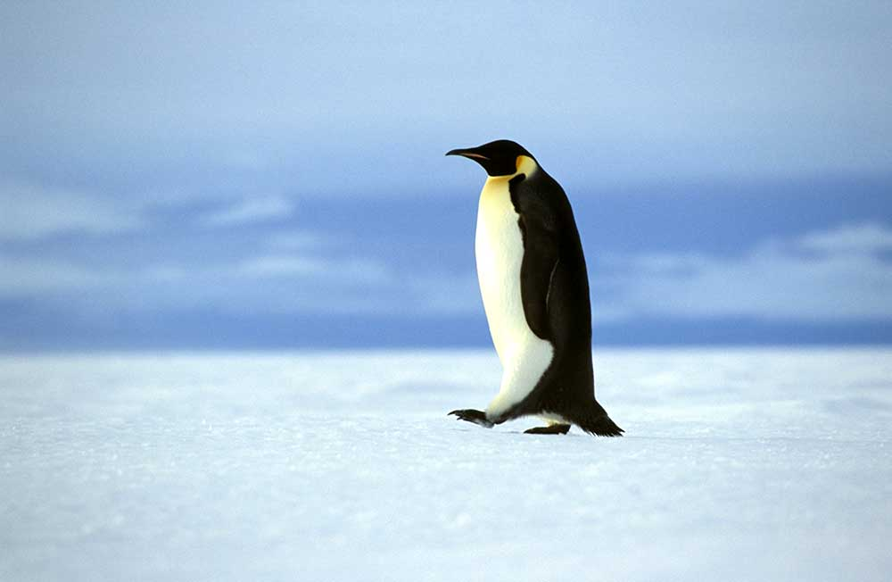 WEDDell Sea Emperor Penguin
